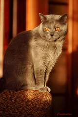 Antonio (Сonstantine) Tags: animals antonio catslife catsoftheworld catscatscats cute photo pic portrait british britishcats meowmeow meow meowbox cat