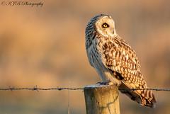 S.E.O(Golden Hour) (KJB Photography.) Tags: seo short eared owl perched golden hour light sun nature wildlife fenland wetland farmland suffolk cambridgeshire