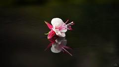 Reflections.... (Piet photography) Tags: reflectie reflection flower fuchia elitegalleryaoi bestcapturesaoi aoi