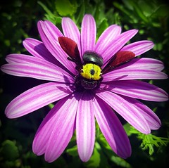 Carpenter bee (Ioannis Ks) Tags: bee carpenterbee dimorphotheca flower plant nature crete