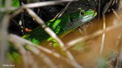 Lézard vert (didier95) Tags: lezardvert lezard reptile animaux saurien