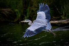 Heron (JMZ Photos) Tags: nature national ftz 200500mm z6 heron nikkor nikon wildlife bird blue grey outside