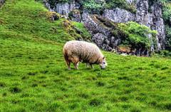 Ballycastle Murlough bay NIR - Sheep 02 (Daniel Mennerich) Tags: ballycastle murloughbay northernireland ireland canon dslr eos hdr hdri spiegelreflexkamera slr vereinigteskönigreich unitedkingdom uk royaumeuni reinounido