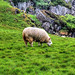 Ballycastle Murlough bay NIR - Sheep 02