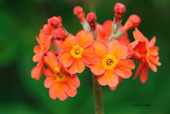In Remembrance (alison brown 35) Tags: primula garden flower perennial plant spring uk orange green bloom candelabra alison brown 35 awesomeblossoms