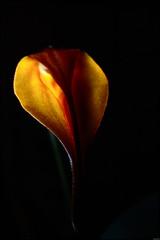 Masdevallia - 343/365 (Frank PRAT) Tags: project365 frankpratphotographie flower fleur masdevallia orchid orchidée smileonsaturday lightanddark