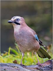 Ghiandaia (Fausto Deseri) Tags: jay garrulusglandarius ghiandaia wildlife nature birds wild nikond500 nikkor300mmf28afsii nikontc17eii faustodeseri