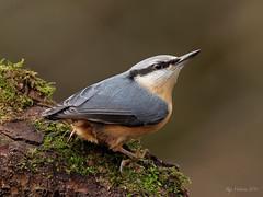 Nuthatch (legoman1691) Tags: nuthatch nature wildlife wildbird naturephotography wildlifephotography