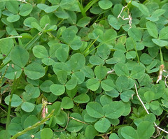 White Clover (Smnwyl) Tags: whiteclover clover trifoliumrepens lawns turf lawnweed turfweed plant wildflower wildflowers