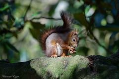 Écureuil roux  Red squirrel Sciurus vulgaris (Ezzo33) Tags: france gironde nouvelleaquitaine bordeaux ezzo33 nammour ezzat sony rx10m3 mammifère animal animaux mammifères écureuilroux redsquirrel sciurusvulgaris