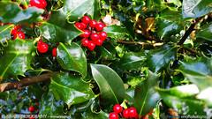 AMARU - Holly (AMARU-PHOTOGRAPHY) Tags: amaru indie singer songwriter actor photographer flickr plants christmas holly bush rain