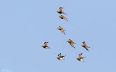 Golden Plovers (Steve (Hooky) Waddingham) Tags: animal countryside coast canon bird british nature frampton wild wildlife wader winter flight golden plover