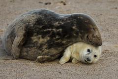 Motherly Love (Chris Bainbridge1) Tags: halichoerusgrypus grey seals mother pup wintertonbeach maternal bond