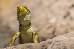 timon lepidus (Josep M.Toset) Tags: animalia bosc camí catalunya d500 fauna nikon josepmtoset natura rèptil reptilia lepidosaures lurgell fardatxo sauròpsid lacèrtids escatós llangardaix afpnikkor70300mmf4556eedvr