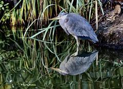 2 reigers (Karin Michies) Tags: reiger blijdorp diergaarde dierentuin dierenfotografie vogel vogelfotografie bird birdphotography zoo spiegeling spiegelbeeld reflectie reflection mirror