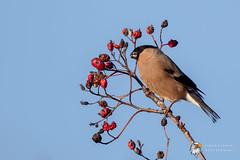 Waxwing (Simon Stobart) Tags: waxwing no pyrrhula berries tree eating north east england uk