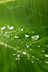 Droplets on a Leaf (xilmabaez) Tags: photography photo color canon nature leaf water drops droplets closeup