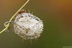 A Thorny Situation (Vie Lipowski) Tags: bug insect ladybird ladybug ladybeetle wildcucumber echinocystislobata wildbalsamapple balsamapple pricklycucumber éhinocystislobé macro nature weed wildlife beetle wildflower wildfruit