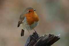Robin (Chris*Bolton) Tags: robin robins robinredbreast perch perched perching glendalough wildlife avian birds bird wicklow ireland
