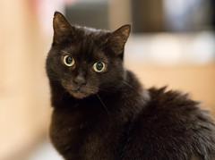 Lilli (rengawfalo) Tags: hauskatze haustier stubentiger tier lilli katze cat animal pet kitten auge eyes