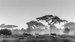 Poussière à Amboseli (Matthieu THIERRY) Tags: amboseli kenya ucpa zèbre