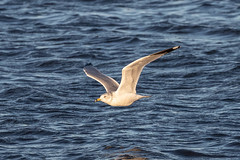 RING-BILLED GULL (nsxbirder) Tags: flight ringbilledgull eastforkstatepark ohio birds clermontcounty bantam