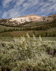 White Lupine & Mountain (Jeff Sullivan (www.JeffSullivanPhotography.com)) Tags: white lupine wildflowers monocounty easternsierra walker california united states usa landscape nature travel photography canon eos 6d photo copyright 2018 jeff sullivan july northern mono county