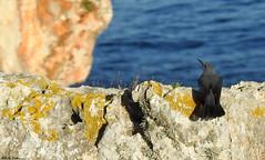 Blue rock thrush (Geminiature Nature+Landscape Photography Mallorca) Tags: bluerockthrush blauwerotslijster monticolasolitarius roquerosolitario aves aus vogels birds mallorca