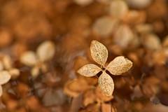 Hydrangea in Autumn Colors (pstenzel71) Tags: herbst natur pflanzen blumen flower bokeh hydrangea hortensie darktable sel90m28g ilce7rm3