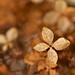 Hydrangea in Autumn Colors