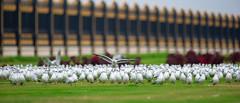 The Eagle has Landed ( MBS-.. ) Tags: nikon bird birding landing 400mm garden sharjah d3s nature wild