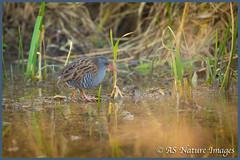 Walking on Water_ (www.andystuthridgenatureimages.co.uk) Tags: water rail secretive shy pond wetland marsh reeds bird slimbridge wwt gloucestershire canon