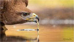 Common Buzzard (Gertj123) Tags: animal avian hide hbn7 lemelerberg netherlands nature eyes drinking water wildlife wild reflection bokeh beak summer canon bird birdwatching birdofprey