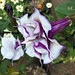 Blackcurrant Swirl Angel's Trumpet