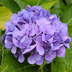 Purple patch #3 (MJ Harbey) Tags: flower purple purpleflower hydrangea hortensia eudicot asterid cornales manoirduhilguy france brittany nikon d3300 nikond3300