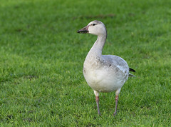 Snow Goose, Chen caerulescens (Dave Beaudette) Tags: birds snowgoose chencaerulescens reidpark tucson pimacounty arizona