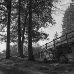 Late November sun (lebre.jaime) Tags: portugal beira covilhã forestpark tree wall nature analogic film120 6x6 mediumformat mf squareformat bw blackwhite noiretblanc nb pb pretobranco ptbw kodak trix iso400 ei200 hasselblad 500cm carlzeiss distagon c3560 epson v600 affinity affinityphoto
