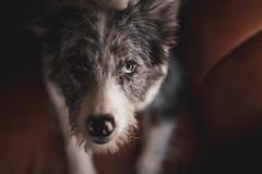 IMG_9580 (ane.eizagirre91) Tags: laya animales dogs perros txakurrak dog dogportrait 50mm pet petportrait animal animalportrait canoneos7dmark2 canon7dmark2 bordercollie f14 14