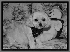 Bella Is A Ray Of Sunshine On Dark Days (marilyntunaitis) Tags: dog pet bella groomingday