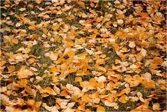 Alfombra natural (T.I.G. Foto Digital) Tags: hojas arboles ramas naturaleza nature bosque montaña pueblo nikon españa belleza silvestres obsesión alfombra