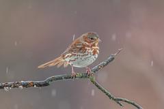 Fox Sparrow (Joe Branco) Tags: green photoshop ontario canada branco joe lightroom foxsparrow wildlifephotography nikond850 joebrancophotography