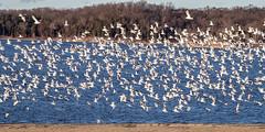 RING-BILLED GULLS over EAST FORK STATE PARK BEACH (nsxbirder) Tags: flock ringbilledgull clermontcounty ohio birds eastforkstatepark bantam