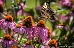 Green Spring Gardens 2019 (gwh.photography) Tags: greenspringgardens swallowtail coneflowers