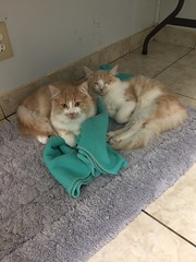 Credence and Emerson - 7 month old neutered males