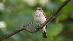 Spotted Flycatcher (Tony_Fallon) Tags: spotted flycatcher bird perch pose