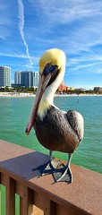 Pelican - Clearwater FL - 2019-11-25 (BillyGoat75) Tags: pelican bird nature beach pier pier60 clearwater clearwaterbeach florida fl usa unitedstatesofamerica gulfofmexico sea samsung s10