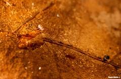 Who's That Animal?! (Mauro Hilário) Tags: springtail collembola arthropod invertebrate animal macro closeup leaf autumn fall detail cute minimalism wildlife nature portugal dicyrtomina ornata