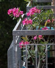 Desert Rose: Adenium (idunbarreid) Tags: desertrose balcony