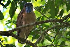 Челноклюв, Cochlearius cochlearius, Boat-billed Heron (Oleg Nomad) Tags: челноклюв cochleariuscochlearius boatbilledheron птицы костарика ареналь bird aves costarica arenal