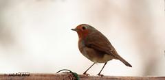 rouge gorge_03 (studio gimi) Tags: oiseau bird rouge gorge robin jardin grosplan proxy nature sauvage libre